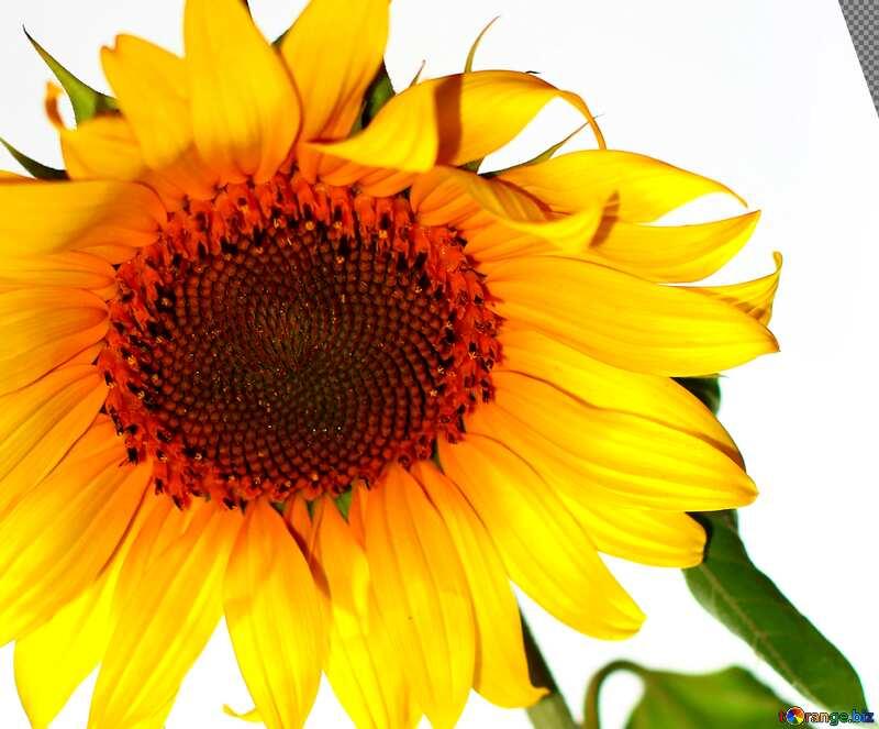 Cover. Sunflower flower on white background. №32791