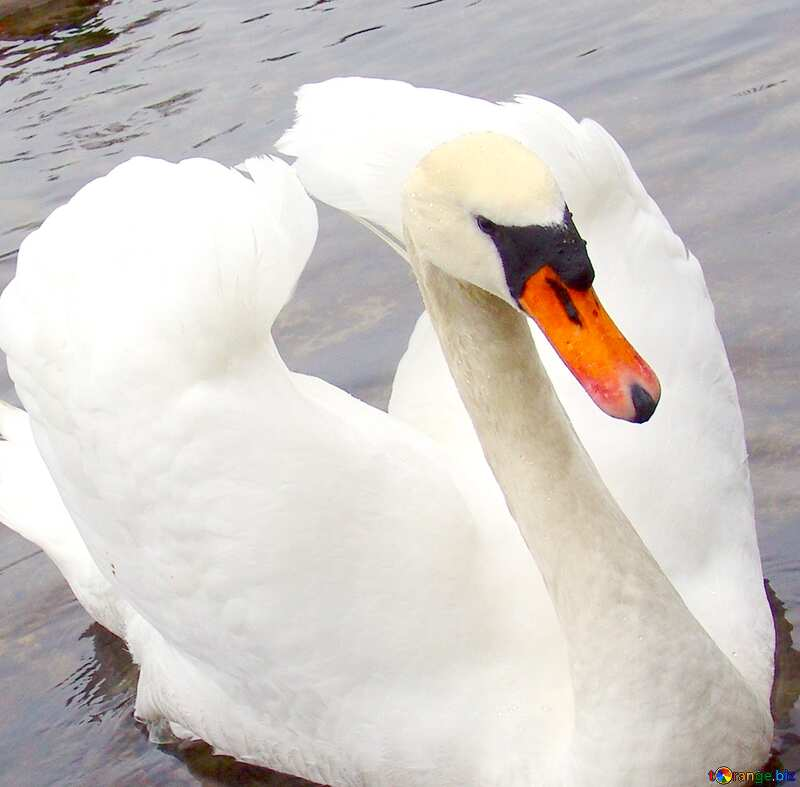 Image for profile picture White Swan folded its wings in the form of heart on the background of ducks.. №385