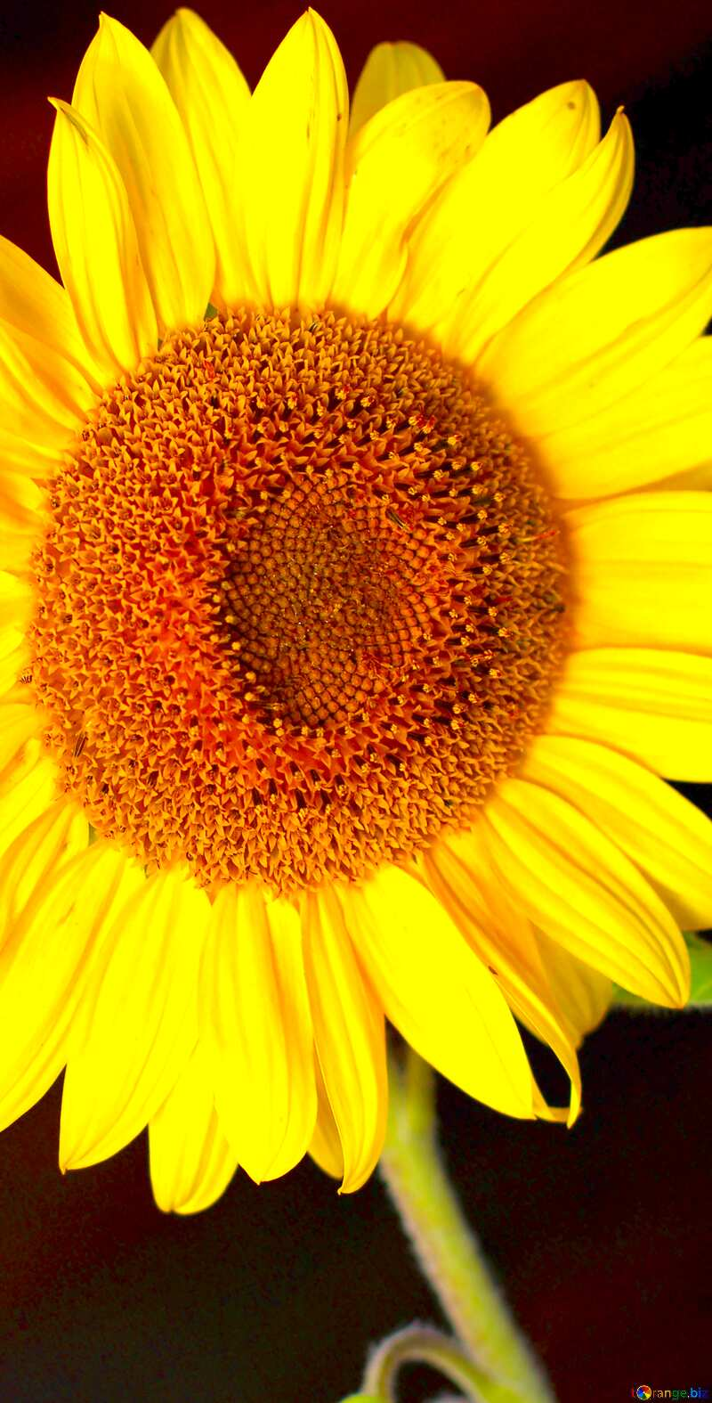 Image for profile picture Sunflower flower on black background. №32797