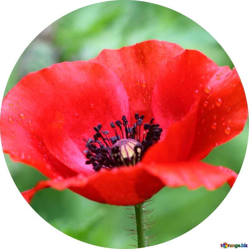 Poppy flowers in circle №34254
