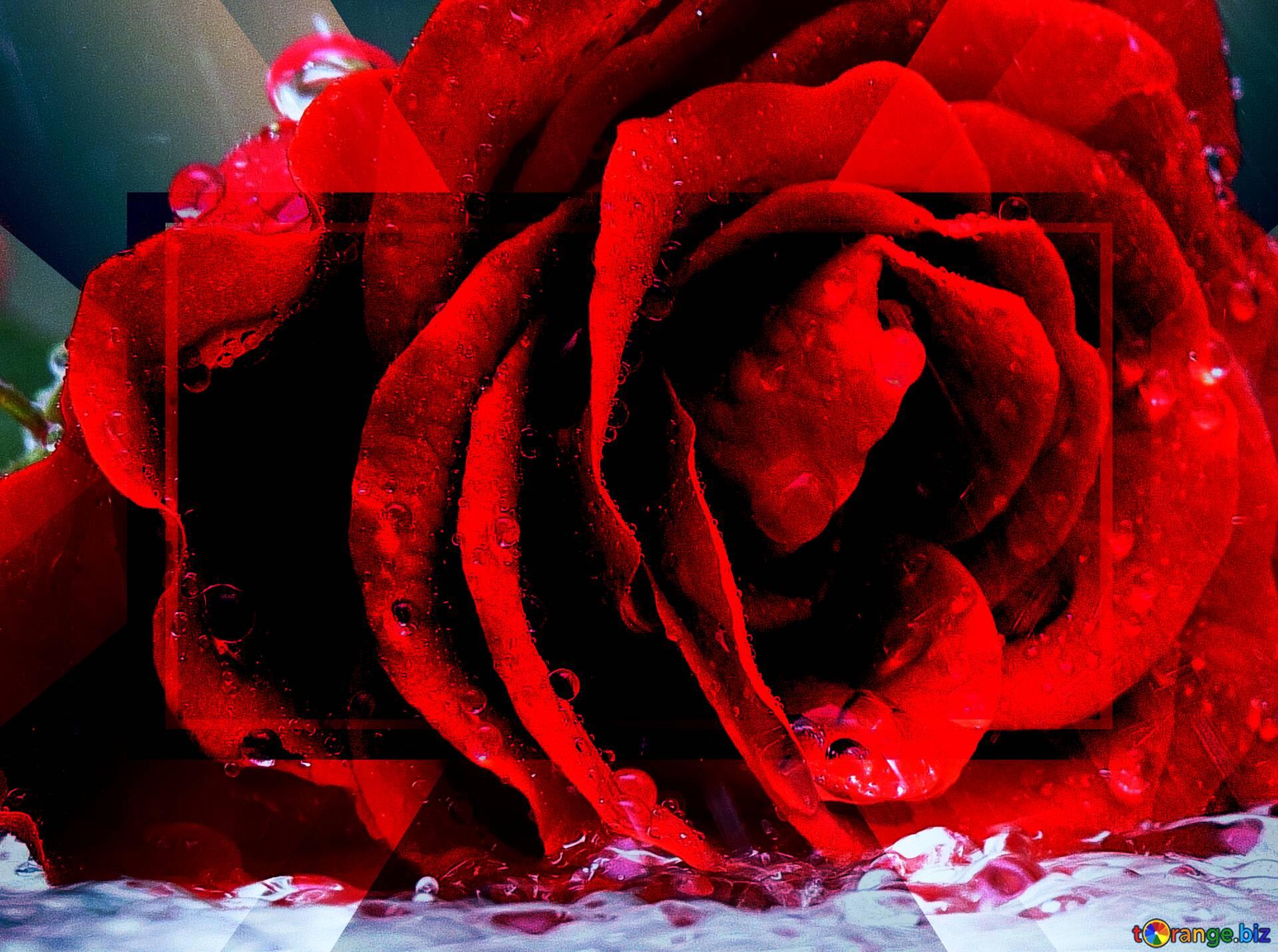 Самые красивые картинки роза бойлер этих
