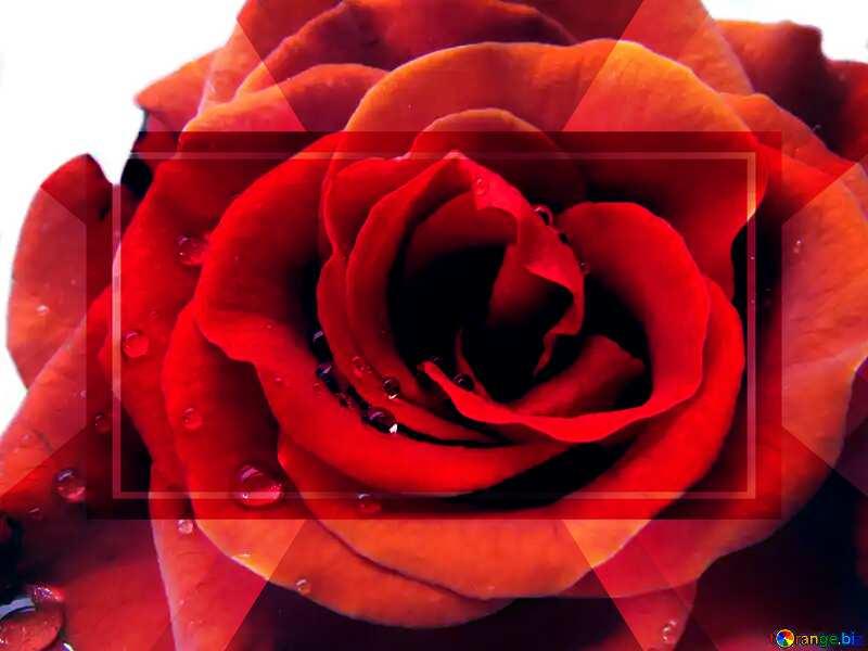 Rose flower Template frame №17115