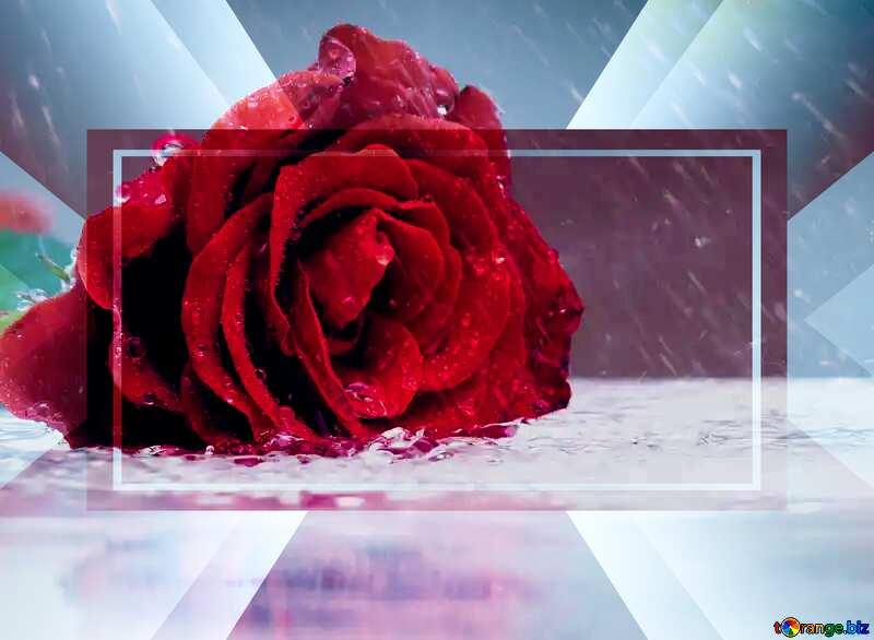 Rose flower rain №16903