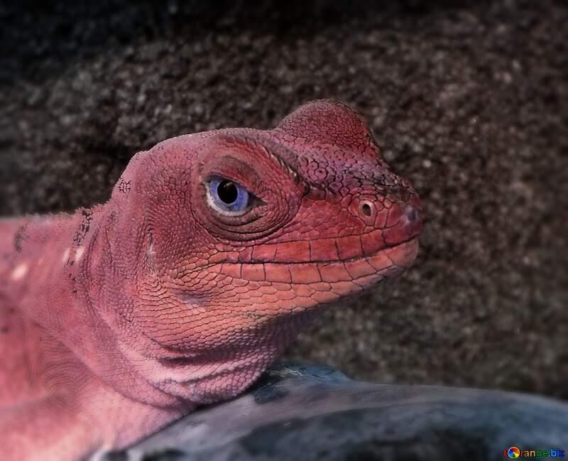 Lizard red color №10697