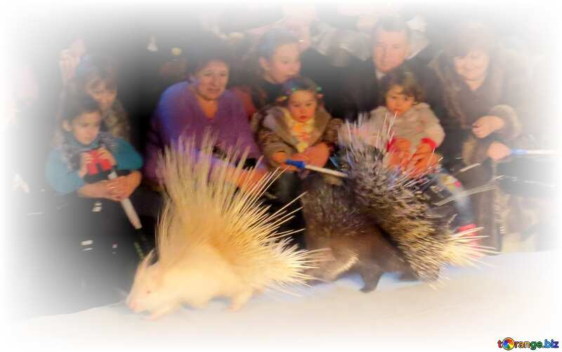Circus porcupines around frame white №15754