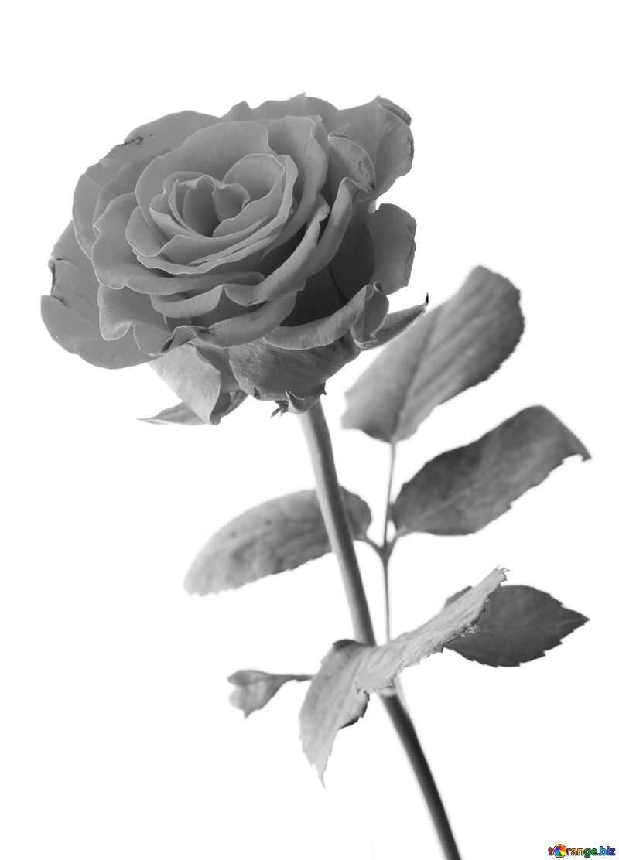 Gray Rose  №17041