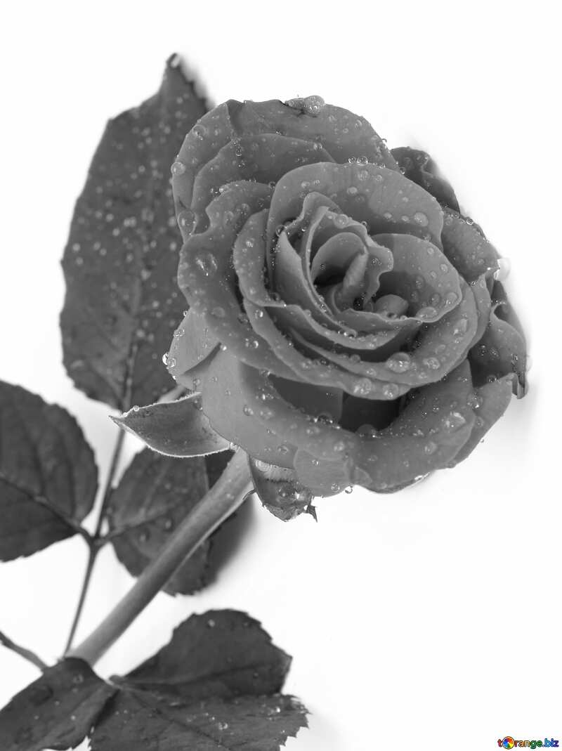 Gray Rose flower drops  №16883