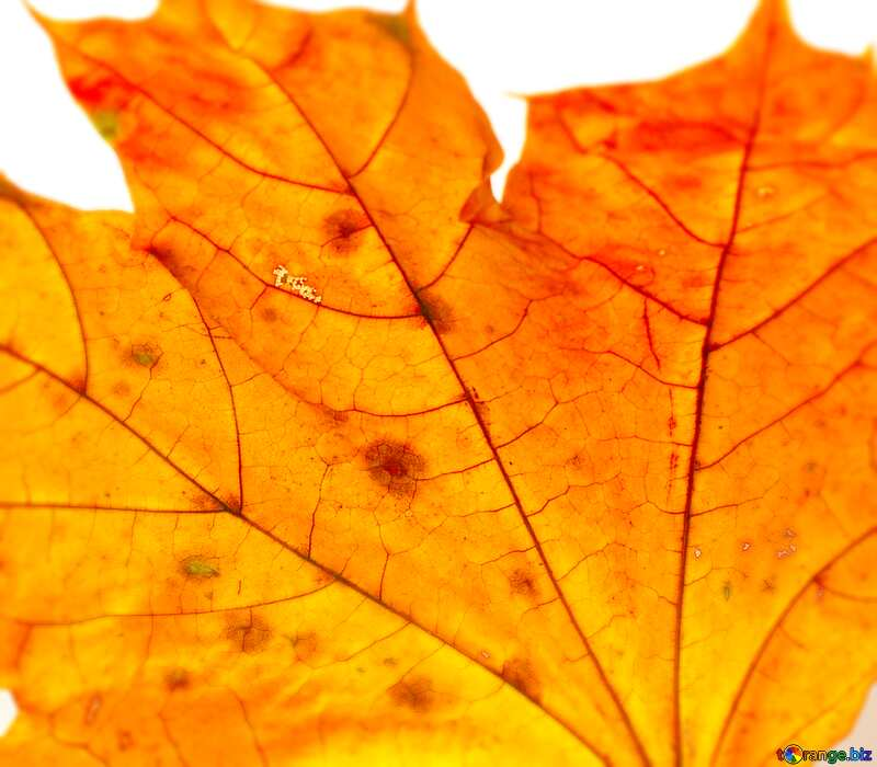 Image for profile picture Dry maple leaf. №37254