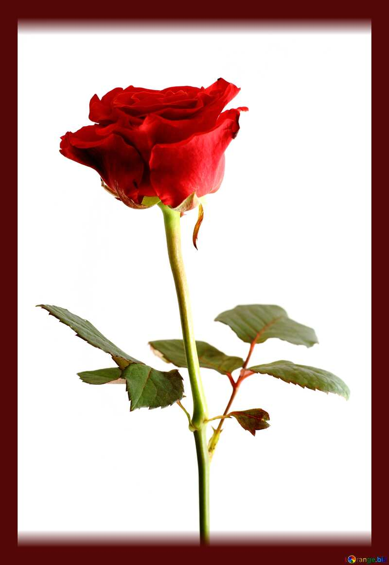 Red color. Texture rose isolated on white background. №17057