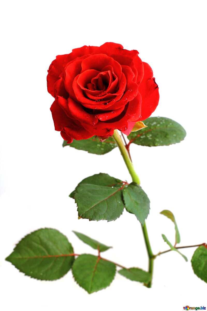 Red rose  №17031