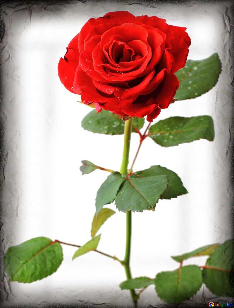 Vintage Rose card №17028