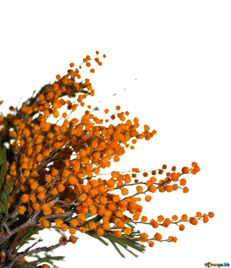 Orange color. Mimosa flower on a white background. №41373