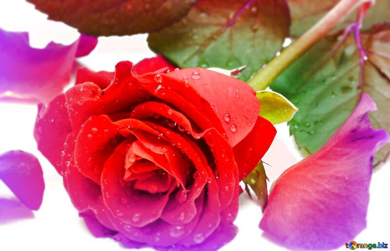 rose flower  petals №16874