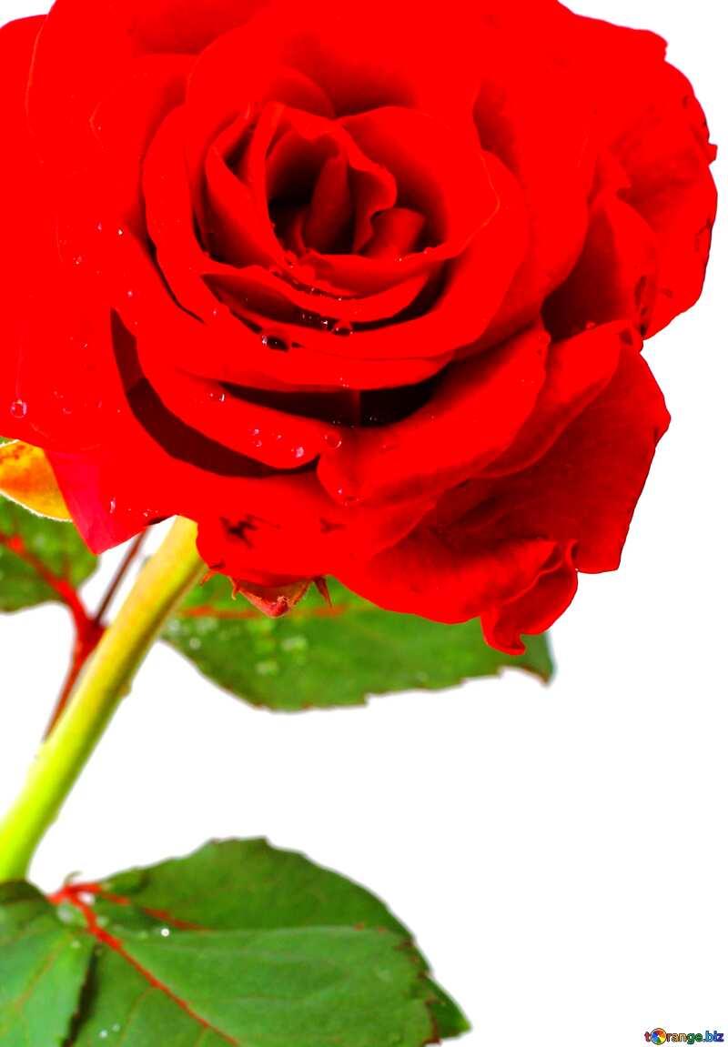 Red beautiful rose flower   vivid colors №17031