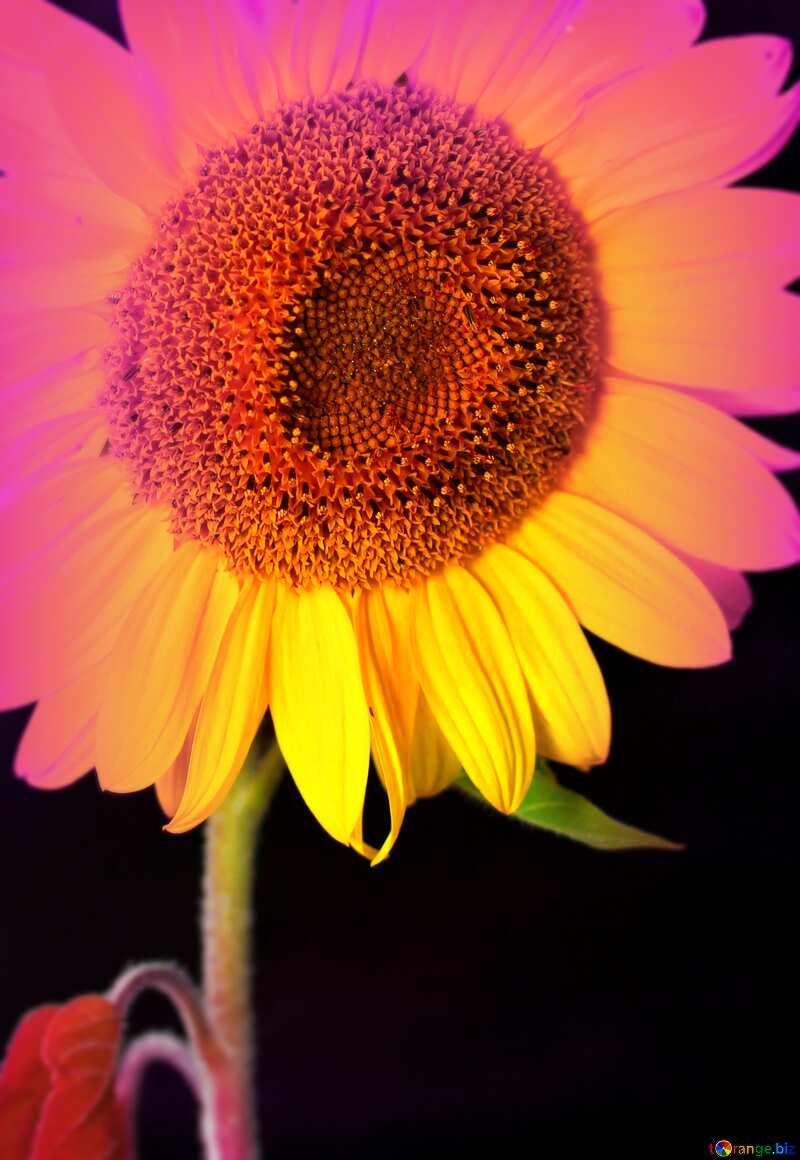 Sunflower flower on black background blur frame №32797