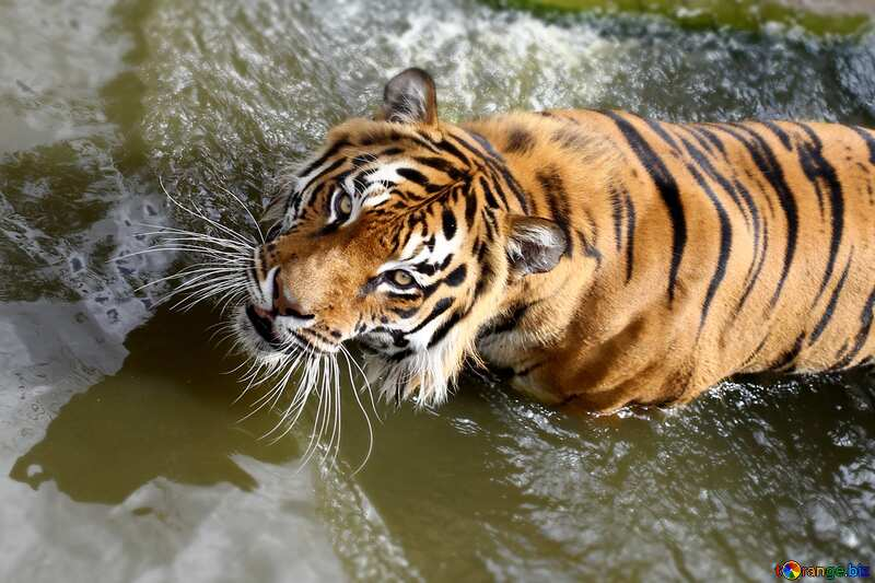 Tigress macro blurring top bottom №45642