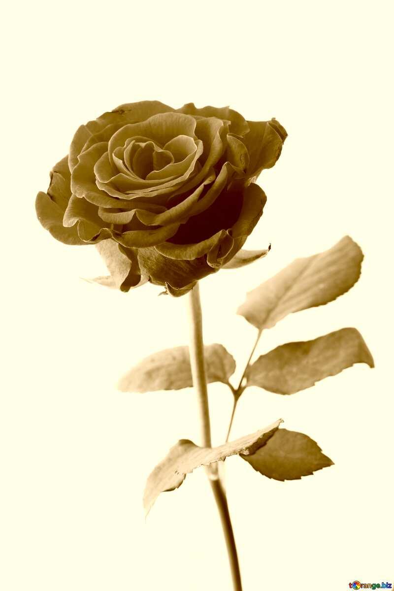 A rose sepia №17043
