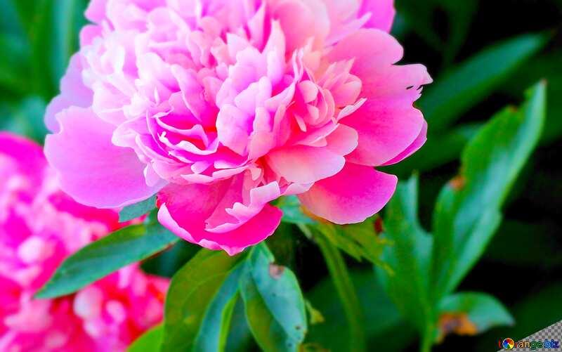 Flowers peonies blur frame card №32639