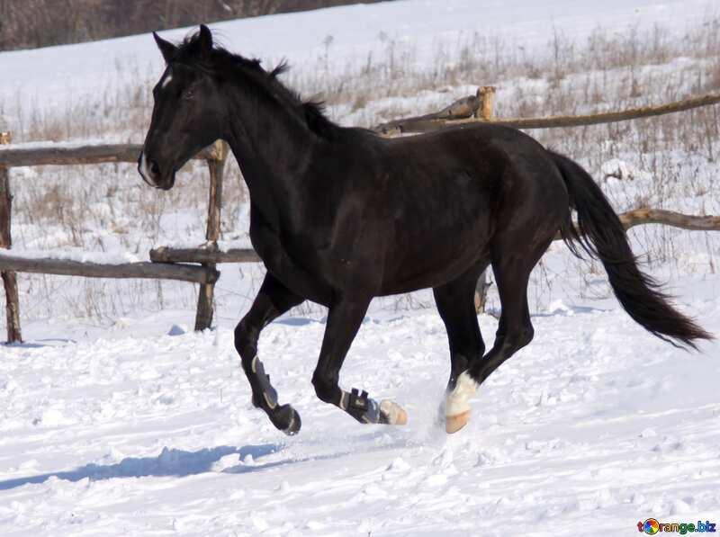 Black colt №472
