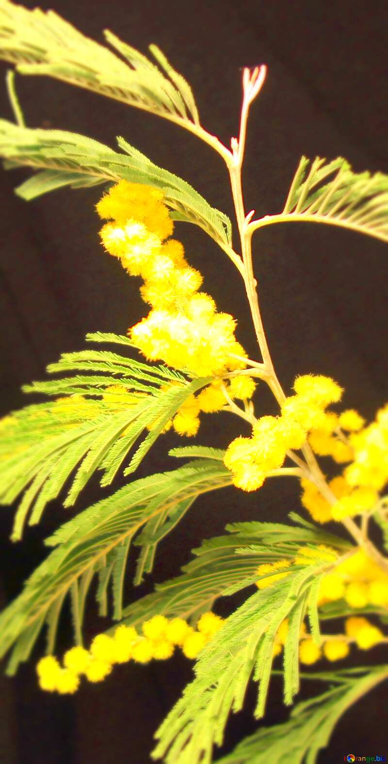 Image for profile picture Mimosa in small vase on black background. №967