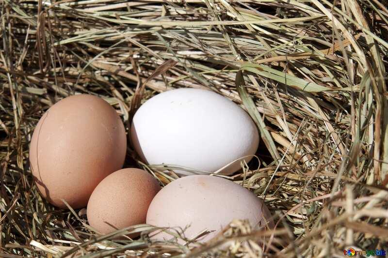 Eggs nest №1069