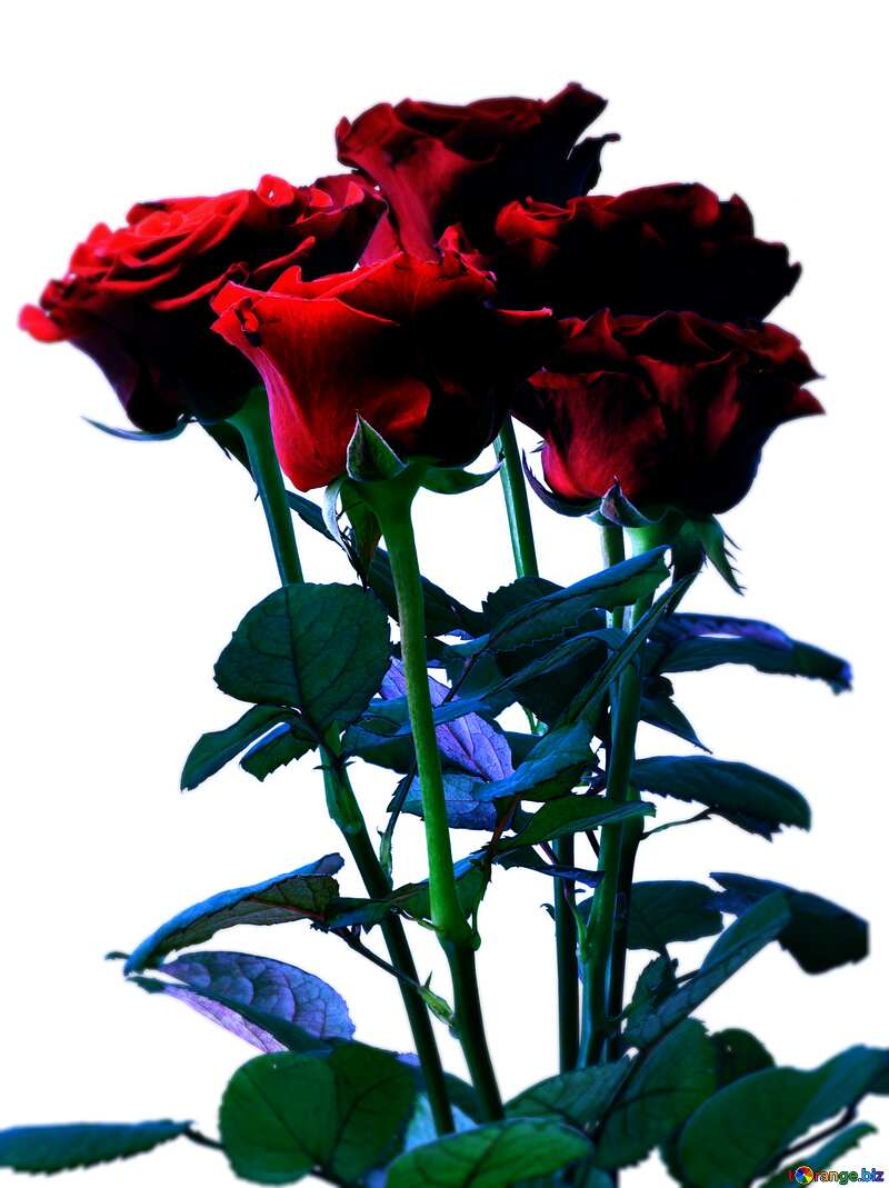 Bouquet of Roses dark blur frame №17075