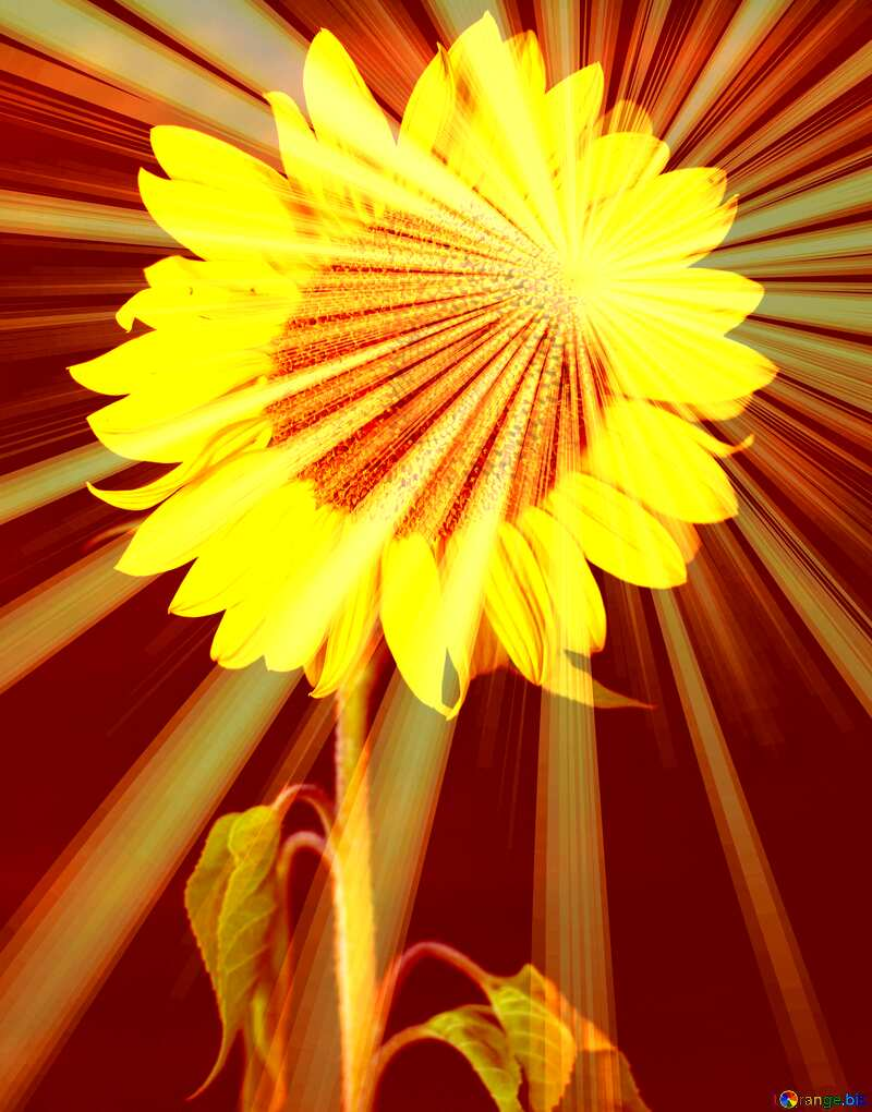 Sunflower flower on black background Rays sunlight №32797