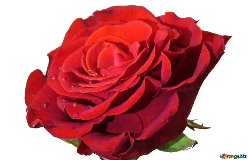 rose bud №17128