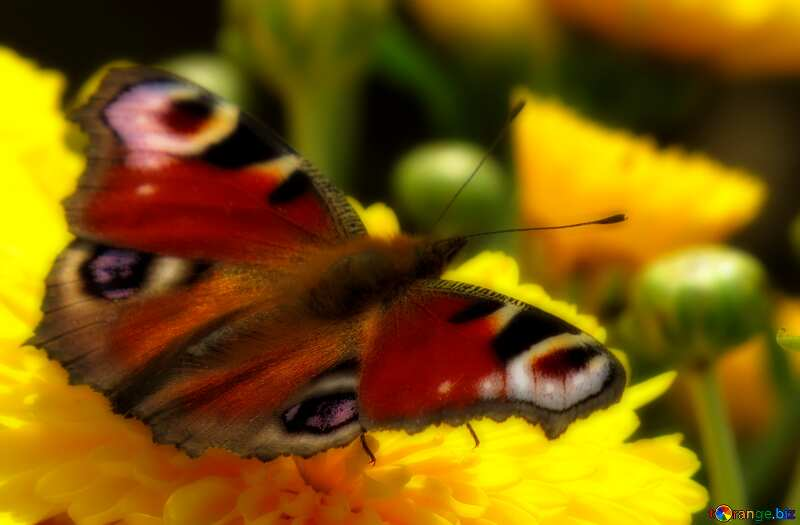 Desktop Wallpaper butterfly on flower №35841