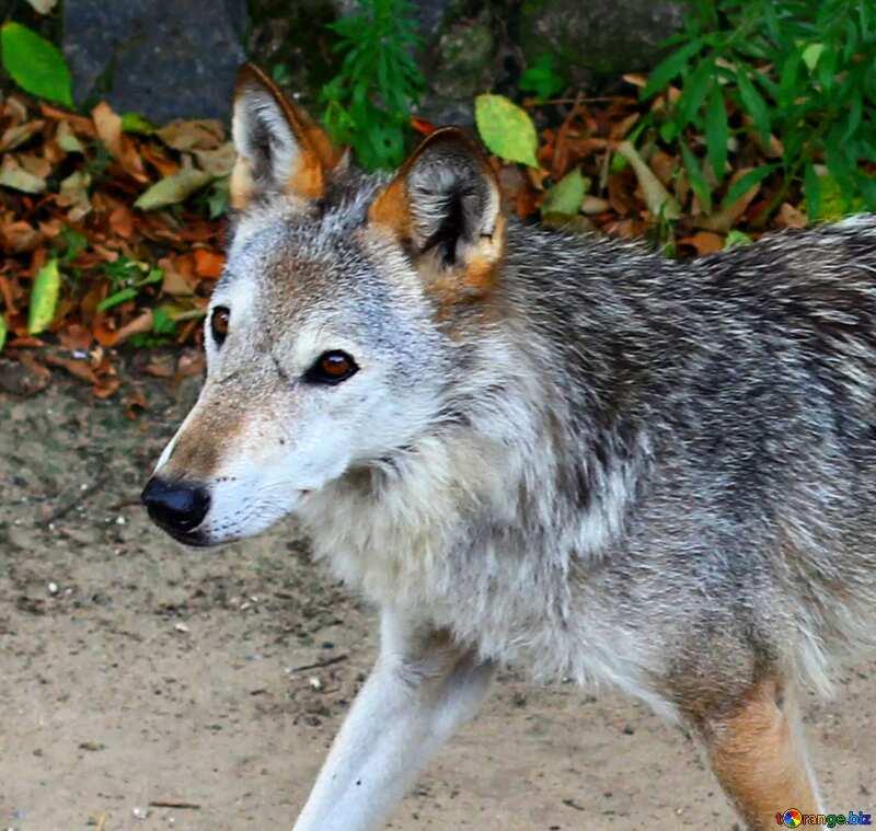 Wolf №45513