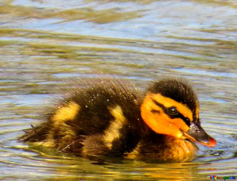 Duckling №31375