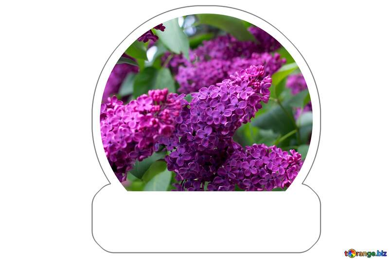 Lilac blooms Sticker №37377