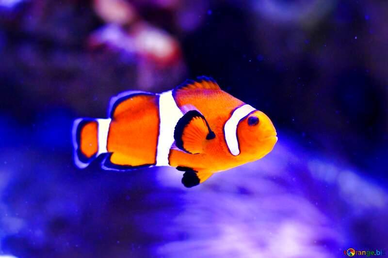 fish clown underwater №53839