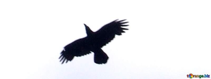 Raven flying №573