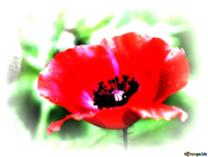 Poppy flower №34254