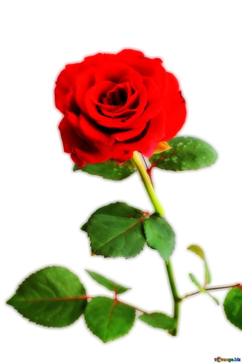 Transparent rose flower №17031