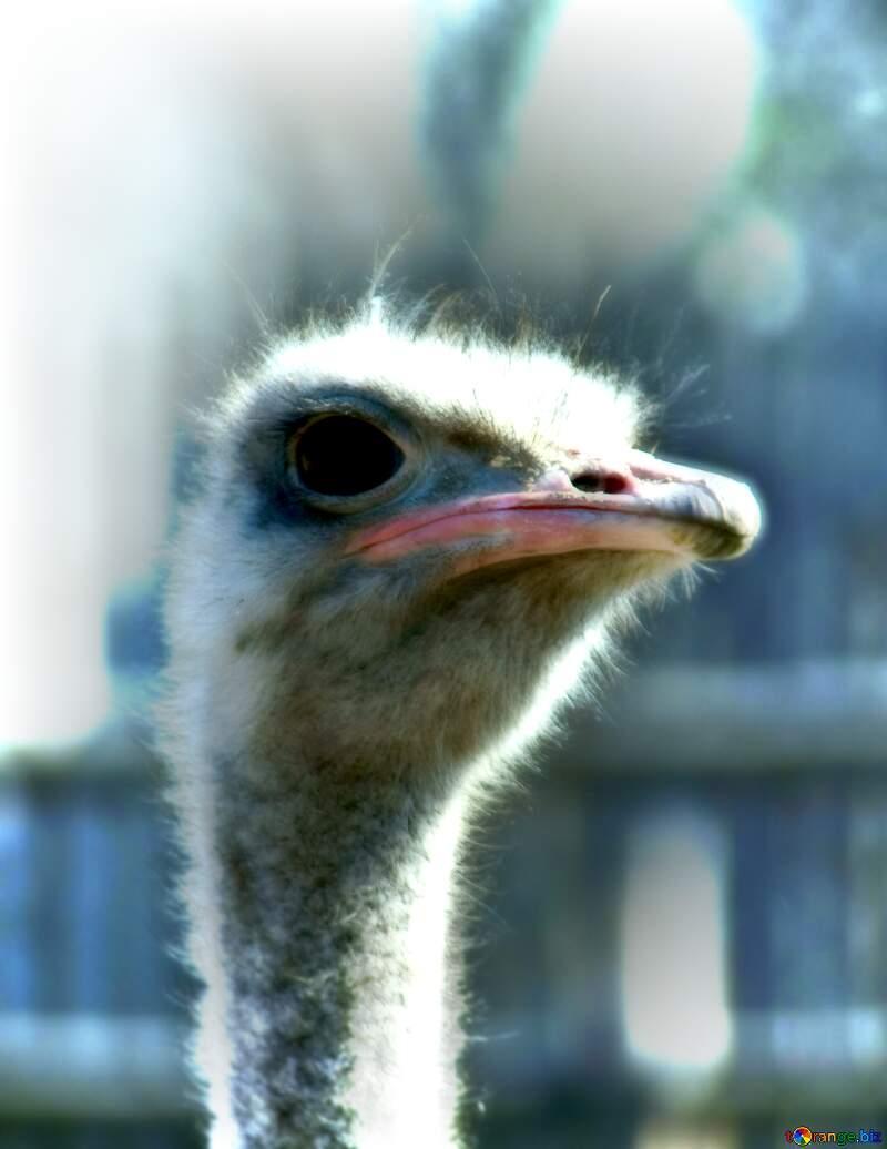 A close up of a bird ostrich close-up emu flightless bird wildlife №4623