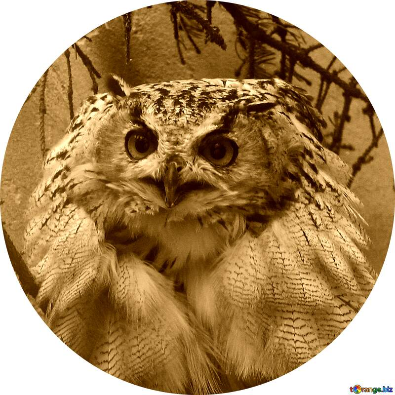 Owl picture for profile №46063