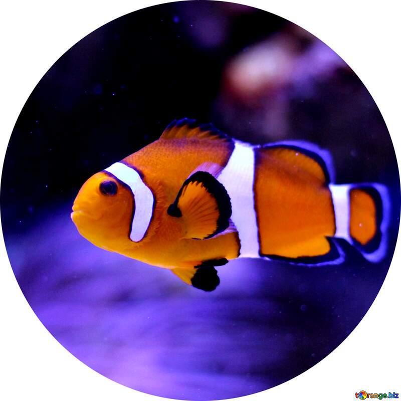 Nemo fish clown profile picture №53839