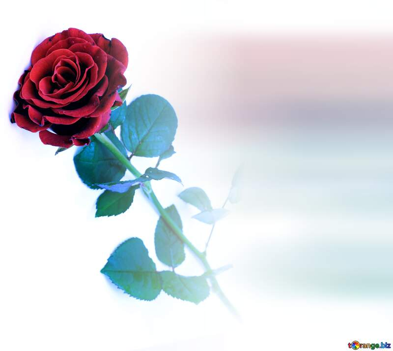 Red beautiful rose blured white background №16891