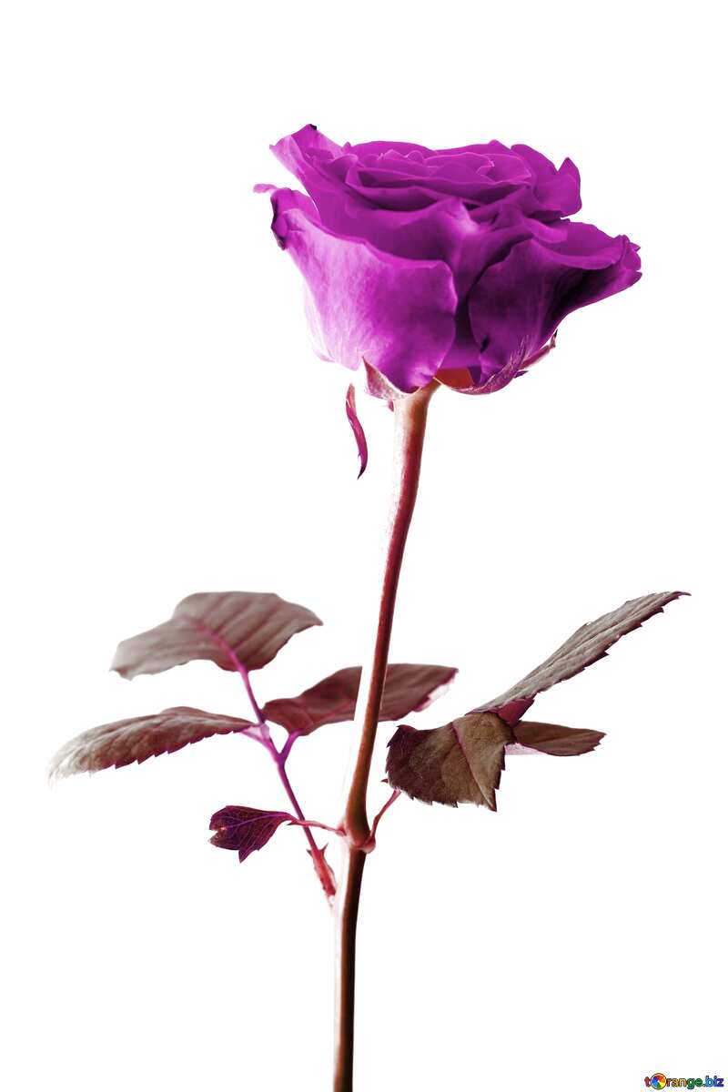 violet rose on a white background №17057