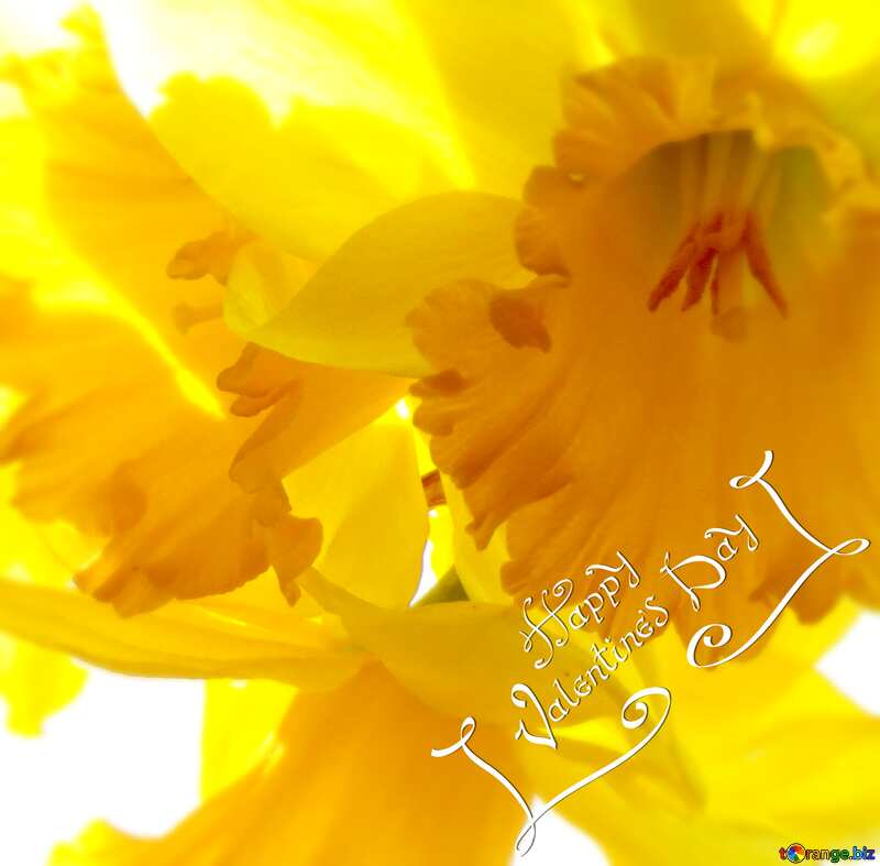 backgrounds happy valentines day  background with yellow  daffodils №30915