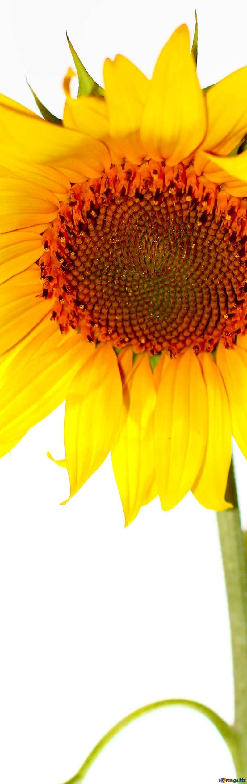 Sunflower vertical banner  background №32791