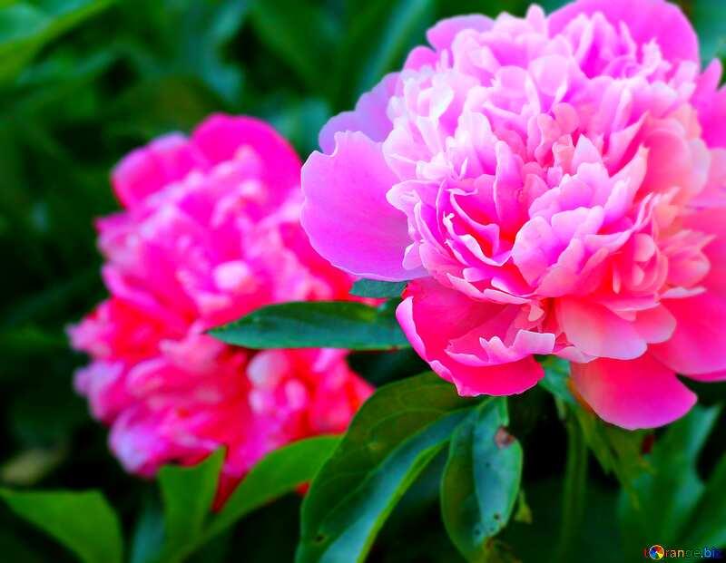 peonies flowers blur frame №32639