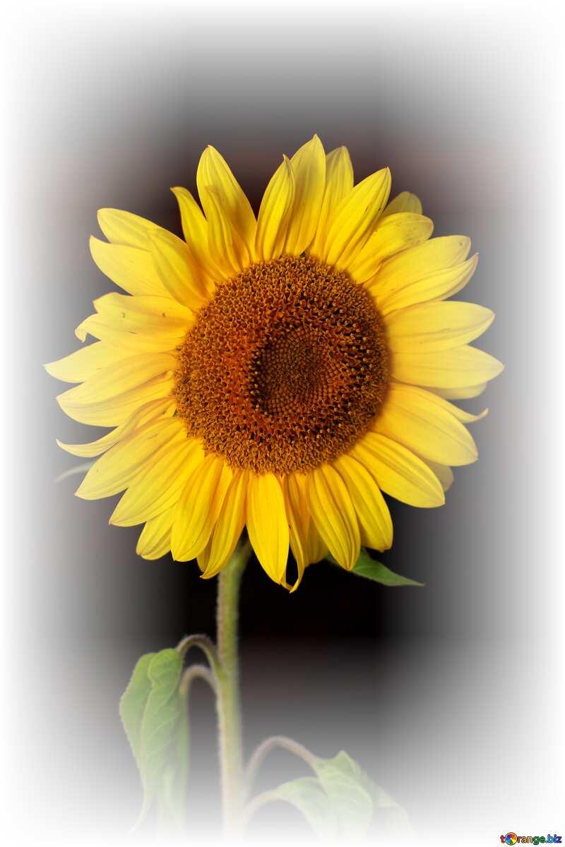 Sunflower flower on black background white frame №32797