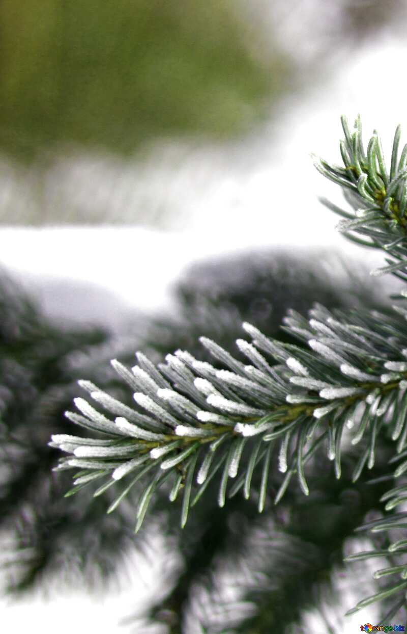 Snow spruce branches №419