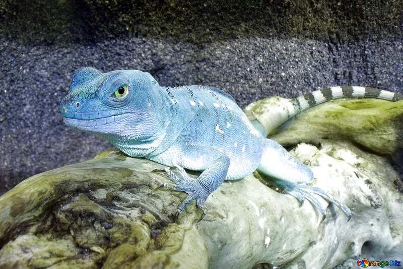 blue Lizard №10697