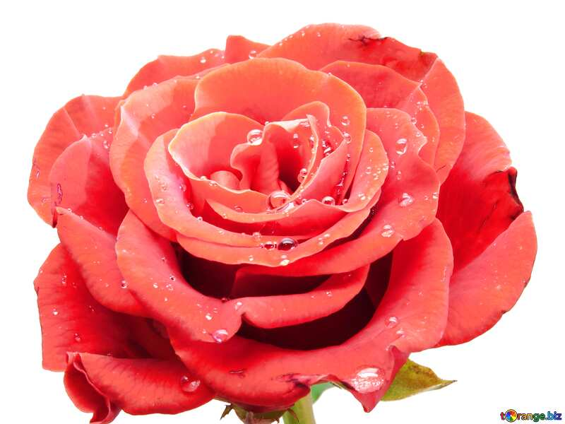 white background red rose №17097