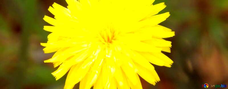 Обложка. Одуванчик желтый. №23056