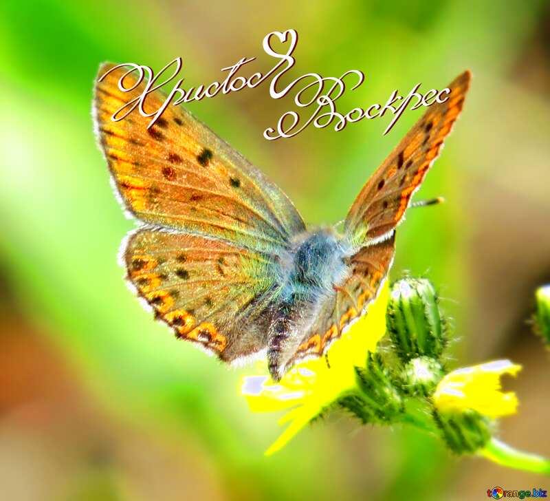 Христос Воскрес бабочка на цветке №25913